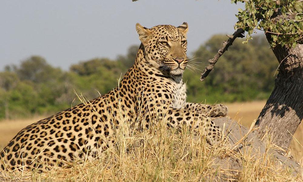 EAI Outdoors Dangerous Game Leopard