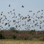 EAI-Argentina-Wingshooting-Doves