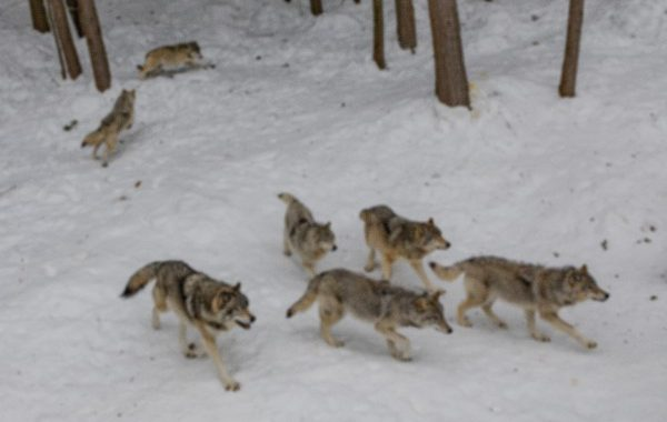 EAI-Ontario-Wolf