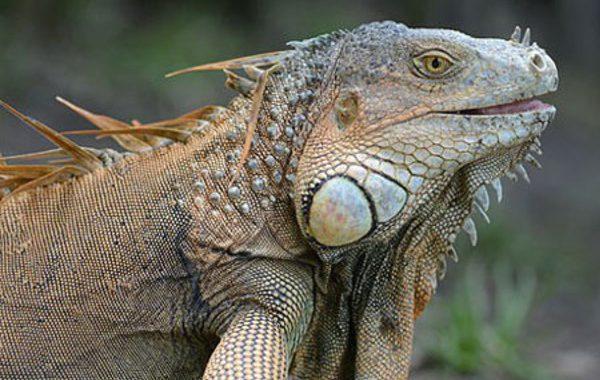 EAI-Otdoors-Puerto-Rico-Iguana-Hunting