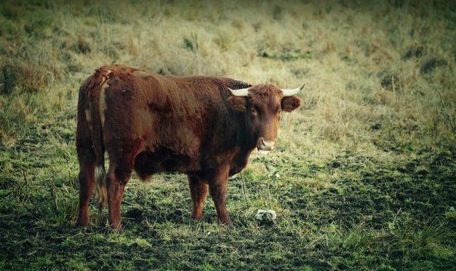 EAI-Outdoors-Hunting-Hawaii-Vancouver-Bulls