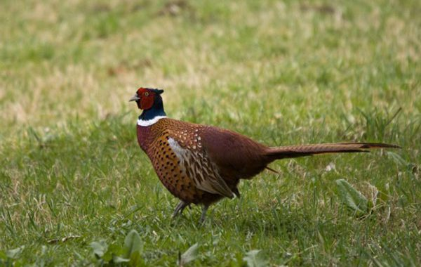 EAI-Outdoors-South-Dakota-Pheasant-Hunts