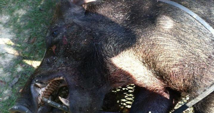 Alabama Hog Hunting
